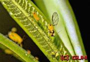 Blattläuse, Lichtenrade