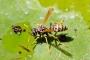 Wespe trinkt auf einem Seerosenblatt