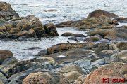 Norwegen / Austernfischer