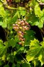 Weintrauben, Lichtenrade