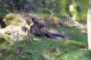 Norwegen, Elch
