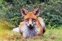 1DX26749 Fuchs