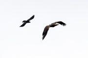 Adler- Norwegen