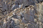 Norwegen, Insel Runde, brühtende Basstölpel