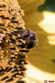 Wespe auf einer Sonnenblume