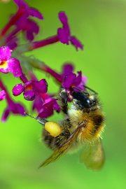 1DX24774 - Biene und Sommerflieder