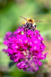 1DX24789 - Biene und Sommerflieder