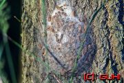 Eichen Prozessionsspinner Nest, Neuholland