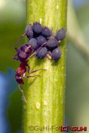 Ameisen melken Läuse, Neuholland