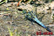 Libelle, Neuholland