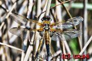 Libelle, Neuholland, , Stausee