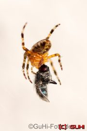 Spinne, Lichtenrade