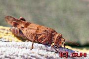 Heuschrecke, Kroatien