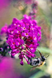 1DX24767 - Biene und Sommerflieder