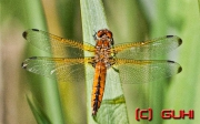 vier Augen Libelle, Neuholland