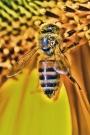 Wespe auf der Sonnenblumen Blüte
