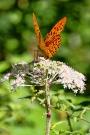 Schmetterling, Lichtenrade