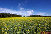 Rapsfeld Schweden