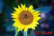 Sonnenblume mit Hummel, Berlin, Lichtenrade