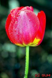 Tulpe, Lichtenrade