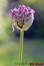 Blüte, Lichtenrade