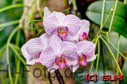 Biosphäre Potsdam, Orchidee
