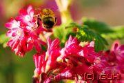 Hummel auf einer Blüte, Lichtenrade