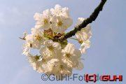Apfelblüte, Lichtenrade