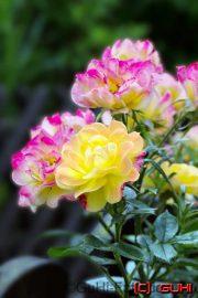 Rose, Lichtenrade