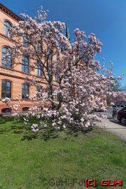 Magnolie, Krankenhaus Lichtenberg