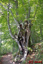 Baum, Kroatien