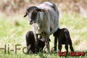 Schaf beim Säugen, Lichtenberg