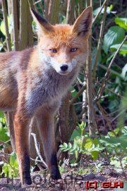 Fuchs, Lichtenrade