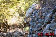 Schaf beim Klettern, Kroatien