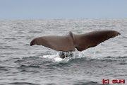 Walflosse Norwegen