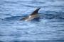 Delfin, Kroatien