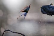 1DX24613 - Eisvogel Neuholland