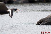 Austernfischer - Norwegen