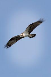 Fischadler Neuholland
