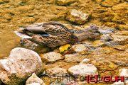 Ente beim Fressen, Kroatien