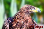 Schreiadler, Eldorado Vogelshow