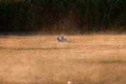 Schwan im Nebel (Sonnenaufgang) - Neuholland
