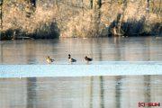 Spreewald Enten auf Eis