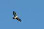 1DX26164 Fischadler