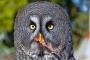 Eule, Eldorado Vogelshow